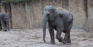 Asian elephant walking Stock Photography