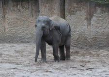 Asian elephant walking Stock Images