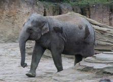 Asian elephant walking Royalty Free Stock Photos