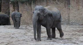 Asian elephant walking Royalty Free Stock Photography