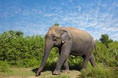 Asian elephant walking on the grass Royalty Free Stock Photos