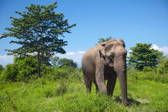Asian elephant walking on the grass Royalty Free Stock Photo