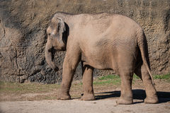 Asian Elephant. Walks by a rock wall Royalty Free Stock Photography