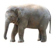 Asian elephant on white background Royalty Free Stock Photo