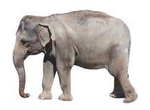 Asian elephant on white background Stock Images