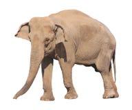 Asian elephant on white background Stock Photo