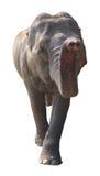 Asian elephant on white background Stock Image