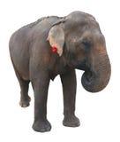 Asian elephant on white background Stock Photography