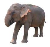 Asian elephant on white background Royalty Free Stock Images