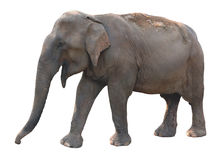 Asian elephant on white background Stock Photos
