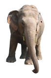 Asian elephant on white background Royalty Free Stock Photos