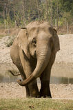 Asian elephant in the wild Royalty Free Stock Images