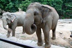 An Asian Elephant. Elephant, wrinkled, wildlife, wilderness, wild tusk trunk tough thick Stock Photo
