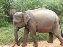 The Asian Elephant. At Yala National Park Srilanka Stock Images