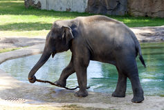 Asian Elephant in Zoo. An Asian Elephant in a zoo enclosure Royalty Free Stock Photography