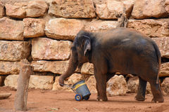 An Asian Elephant in zoo Stock Images