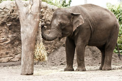 Asian elephant in zoo, eating straw. Royalty Free Stock Photo
