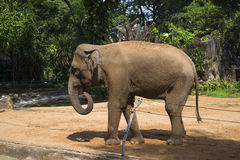 The Asian elephant in the zoo of Ho Chi Minh city Royalty Free Stock Photo