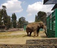 Asian elephant in a zoo. Maximum elephas, mammalian animal, endangered species Royalty Free Stock Photo