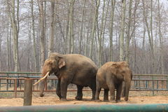 Asian elephants�Elephas maximus� Royalty Free Stock Photography
