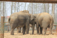 Asian elephants�Elephas maximus� - united family Royalty Free Stock Images