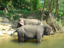 Asian elephants. Two asian elephant in a river Stock Photos