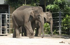 Asian Elephants Royalty Free Stock Photography