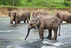 Asian Elephants Royalty Free Stock Photo