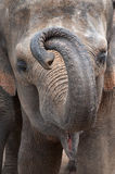 Asian Elephants Stock Images