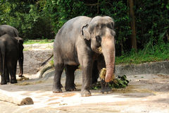 Asian Elephants. In Singapore Zoo Stock Image