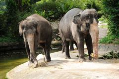 Asian Elephants. In Singapore Zoo Royalty Free Stock Photos