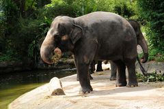 Asian Elephants. In Singapore Zoo Stock Photography