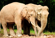 Asian elephants. In wild, Khao Yai National Park,Thailand Royalty Free Stock Images
