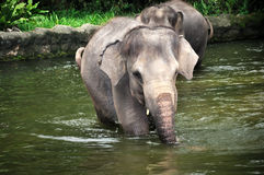Asian Elephants. Asian Elephant in Singapore Zoo Stock Images