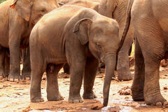 Asian elephants royalty free stock photography