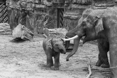 Asian Elephants Royalty Free Stock Images