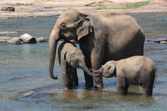 Asian Elephants bathing in the river. A mother Asian Elephant and her young bathing in the river at Pinnawala Elephant Orphanage (Sri Lanka Royalty Free Stock Photo