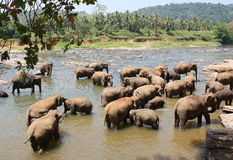 Asian elephants bathing in the river Sri Lanka. Asian elephants bathing in the river at Pinnawala Elephant Orphanage Sri Lanka Royalty Free Stock Photos