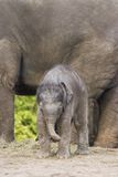 Asian elephants - Big mom, small kid Royalty Free Stock Photography