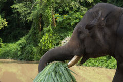 Asian elephants.Chang Thailand Elephant Conservation Center in T Royalty Free Stock Photo