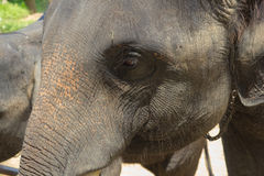 Asian elephants.Chang Thailand Elephant Conservation Center in T Stock Photography