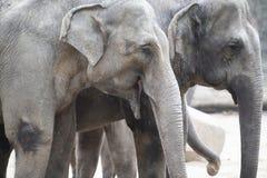 Asian elephants, closeup of asian elephants Stock Photo