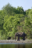 Asian elephants crossing the Karnali river, Bardia, Nepal Royalty Free Stock Photos