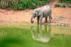 An asian elephants drinking Stock Photos