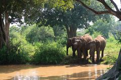 Closeup of three elephants drinking water inside the udawalawe national park, Sri Lanka stock images