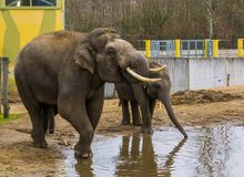 Asian elephants drinking water together, Tusked male elephant putting trunk in his mouth, Endangered animals from Asia royalty free stock image