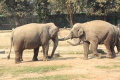 An Asian Elephants. stock photo