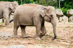 Asian Elephants Royalty Free Stock Photos