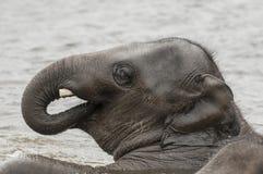 Asian elephants (Elephas maximus)) Stock Photography