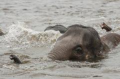 Asian elephants (Elephas maximus)) Royalty Free Stock Images
